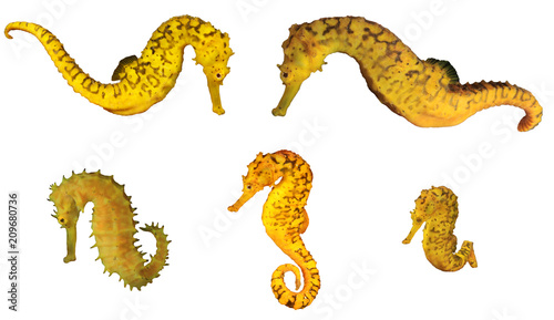 Yellow Seahorses collection isolated on white background