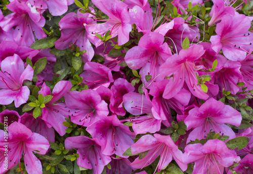 Foto op Canvas Azalea pink flowers close-up texture, background