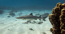 Pregnant White Tip Reef Shark Swimming Away To The Left On The Great Barrier Reef In Australia.