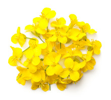 Rapeseed Flowers Isolated On White Background