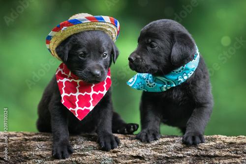 Obraz Black puppy labs - fototapety do salonu