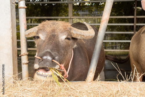 Keuken foto achterwand Buffel Brown buffalo in the corral eatting dry grass,look happy.