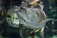 Silver Arawana Fish Underwater Portrait