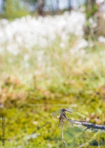Kleine Moosjungfer (Leucorrhinia dubia), geschlechtsreifes Männchen sitzt auf Ansitzwarte, Pietzmoor, Naturschutzgebiet Lüneburger Heide, Schneverdingen, Niedersachsen, Deutschland, Europa