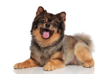 Side View Of Lying Brown Pomeranian Panting And Looking Up