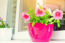 A Pot Of Pink Petunias Stands On The Window, Beautiful Spring And Summer Flowers For Home, Garden, Balcony Or Lawn, Natural Wallpaper, Space For Text