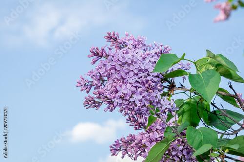Spoed Foto op Canvas Lilac purple blooming lilac