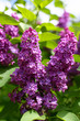 lilac fiower summer