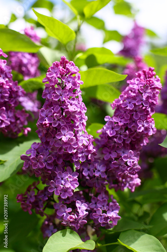 Foto op Canvas Lilac lilac fiower summer