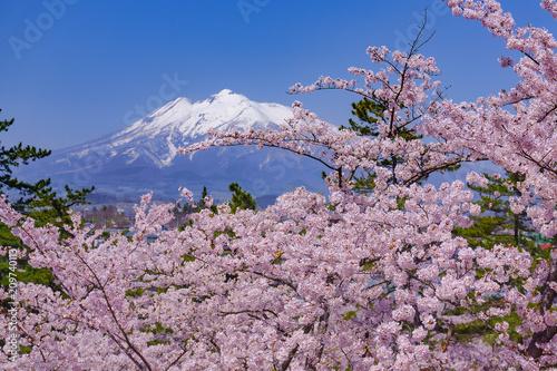 弘前公園の桜 Hirosaki park