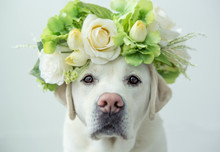 Labrador Retriever With Flower Crown
