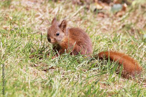 Printed kitchen splashbacks young and small european squirrel (Sciurus vulgaris)