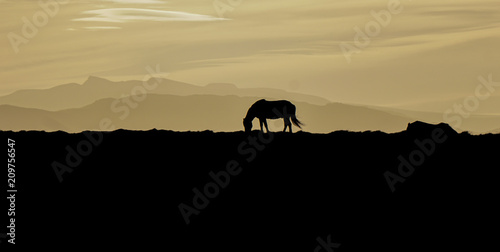 Fototapety, obrazy: Beautiful horse in a sunset, Iceland