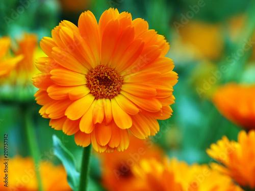 Obraz Große Ringelblumenblüte - fototapety do salonu