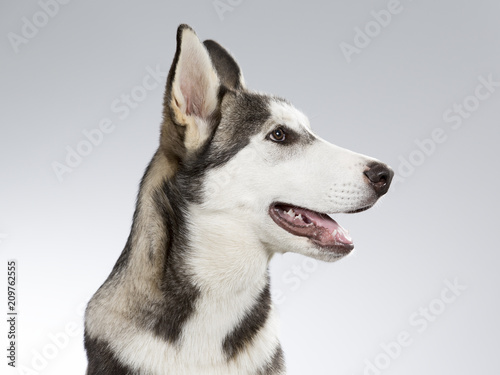 Deurstickers Franse bulldog Husky puppy portrait. Image taken in a studio with white and grey background.