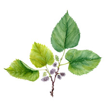 Botanical Watercolor Illustration Sketch Of Fruits And Leaves Of Mulberry Morus On White Background. Could Be Used As Decoration For Web Design, Cosmetics Design, Package, Textile