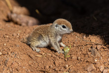 Young Round-tailed Ground Squi...