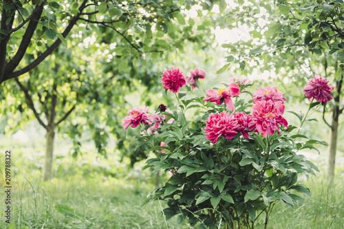 Poster de jardin Dahlia Peonies bush in the garden in countryside. Flower backgrounf for design. Summer floral photo.