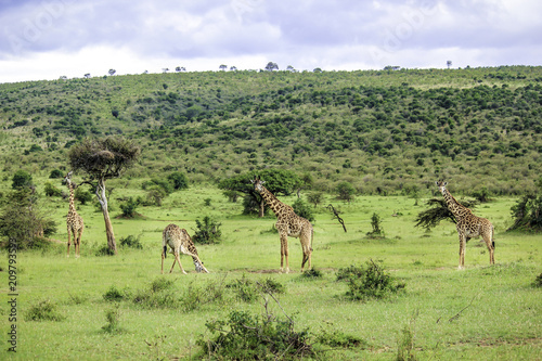 Fotografie, Obraz  Herd of Giraffes Grazing at the Base of a Hill in the African Savannah of the Ma