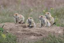 Black Tailed Prairie Dog, Firs...