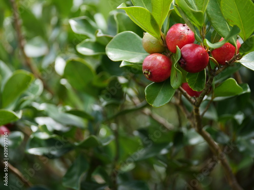 Photo sur Aluminium Oliviers strawberry guava branch tree with fruits in hawaii