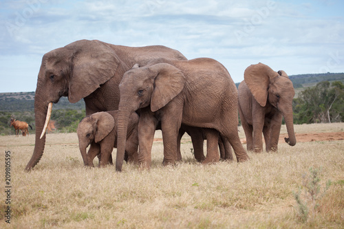 African elephant family with small baby Poster