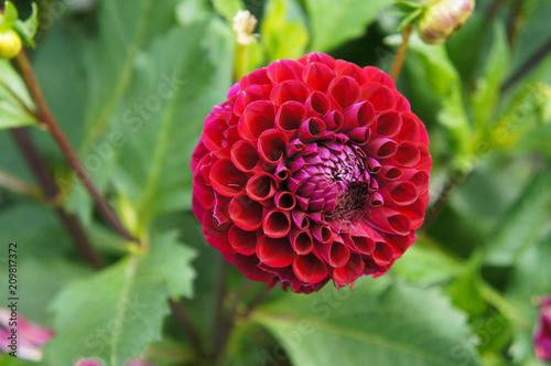 Fényképezés Black tucker dahlia red pompom flower head with green background