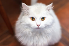 Home White Cat Breed Of The Tu...