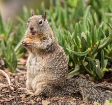 Ground Squirrel Sitting Up Eat...