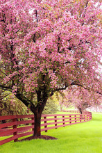 Beautiful Spring Time Nature Background. Scenic View With Beautiful Pink Blooming Trees Along Wooden Fence. Midwest USA, Wisconsin. Vertical Composition.