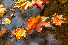 Maple Leaf In Water, Floating Autumn Maple Leaf. Colorful Leaves In Puddle. Selective Focus. Sunny Autumn Day. Autumn Concept. Hello September, October