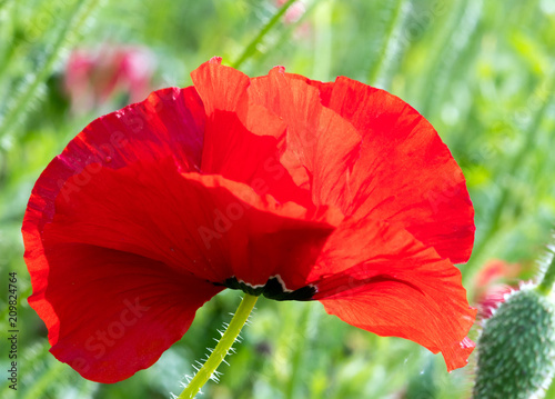 Summer happiness, love of life: closeup view of red corn poppy :)