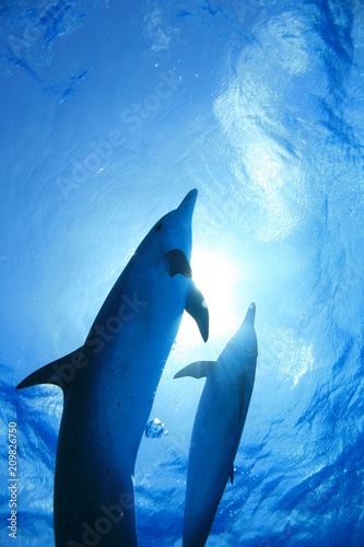 Fotografie, Tablou  イルカの親子