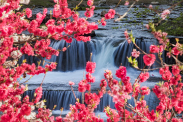 FototapetaPeach tree blooming against the river,by the waterfall.