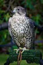 Gyrfalcons (Falco Rusticolus) Are The Largest Falcon Species. They Are Living In Arctic Regions Of The Northern Hemisphere. In The Medieval Era, The Gyrfalcon Was Owned Only By Kings And Emperors.