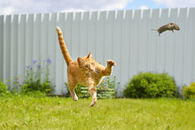 Funny Ginger Cat Catches Mouse In A Jump On A Green Grass And A White Fence Background. In Defocus.