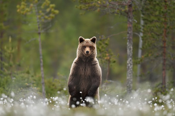 Brown bear standing in a swamp taiga forest in a background