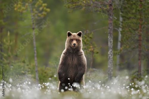 Fototapeta premium Niedźwiedź brunatny stojący w lesie tajgi bagno w tle