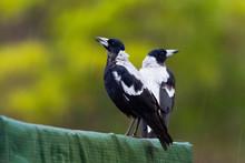 Gymnorhina Tibicen - Australian Magpie In The Rain