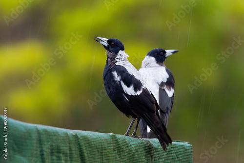 Fotomural Gymnorhina tibicen - Australian Magpie in the rain