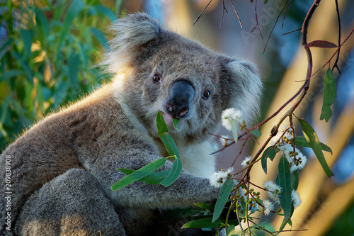 Staande foto Koala Koala - Phascolarctos cinereus on the tree in Australia, eating, climbing