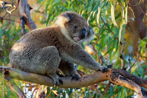 Staande foto Koala Koala - Phascolarctos cinereus on the tree in Australia, eating, climbing