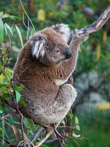 Keuken foto achterwand Koala Koala - Phascolarctos cinereus on the tree in Australia, eating, climbing