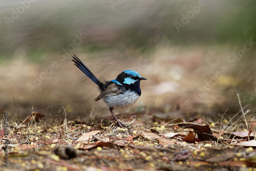 Fotomural Superb Fairywren - Malurus cyaneus - passerine bird in the Australasian wren family, Maluridae, and is common and familiar across south-eastern Australia