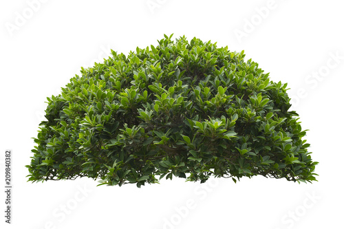 Photographie green bush isolated on white background.