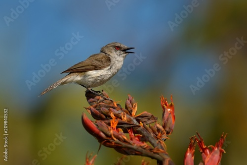 Fotografie, Obraz Grey warbler - Gerygone igata  - riroriro common small bird from New Zealand