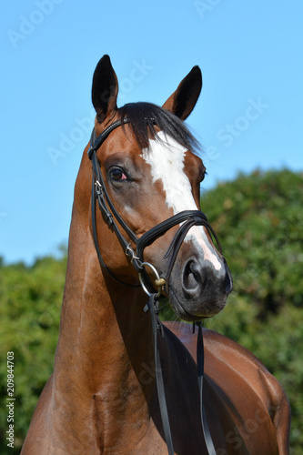 Photo  Outdoor head portrait of a beautiful thoroughbred horse with alert facial expression and pricked ears
