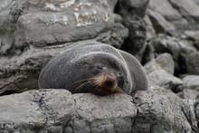 Seal Sleeping On The Rock