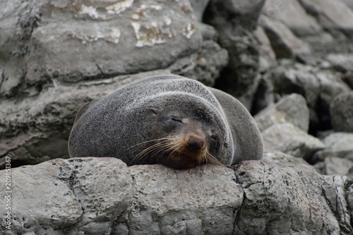 Fototapeta premium Foka śpiąca na skale