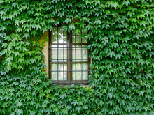 Window Of The House In The Wall Covered With Ivy
